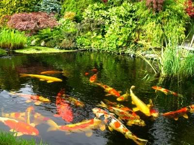 kasco maritiem-koi fish pond